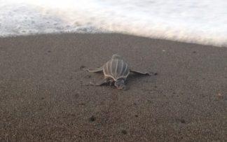 Tortuga en Costa Rica