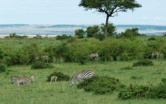 Cebras en Kenia y Tanzania