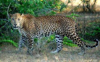 Leopardo en Botswana