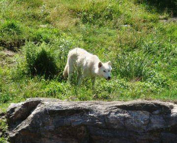 Lobo blanco en Canadá