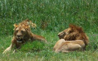 Leones en Tanzania descansando