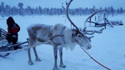 Reno en Laponia