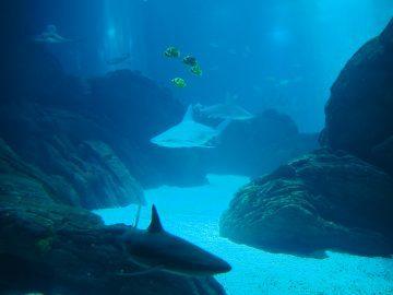 Tiburón australiano