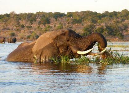 Elefante en el Delta del Okavango