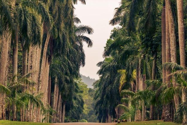Palmeras-Sri-Lanka