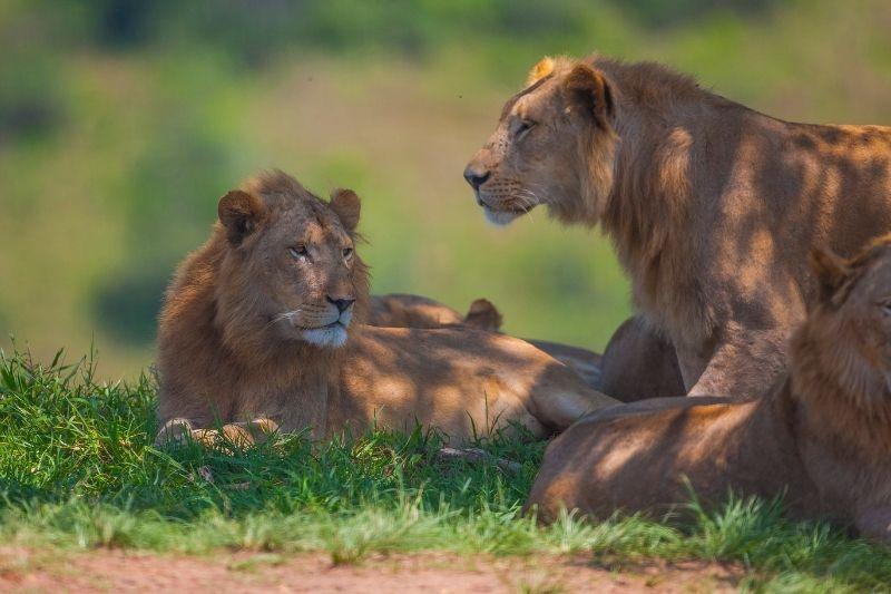 Leonas en el Parque Kruger