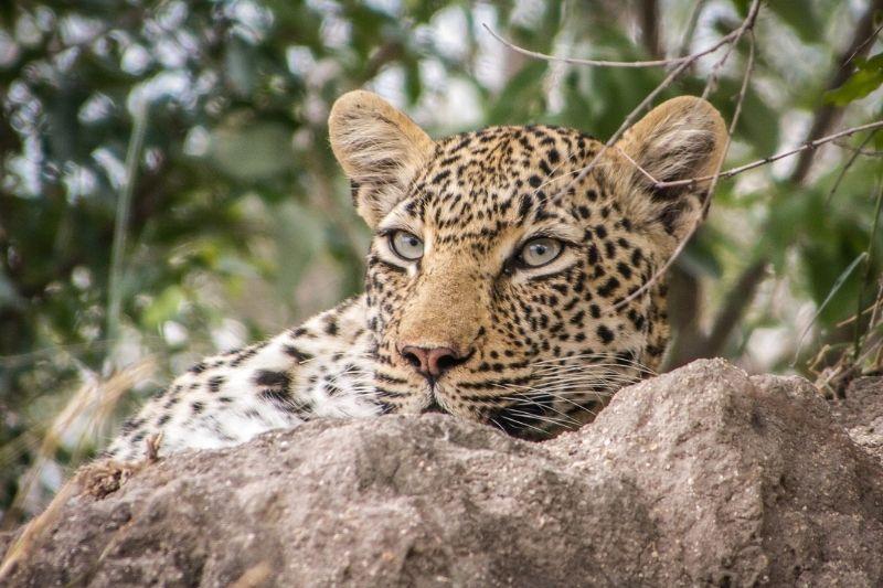Leopardo zonas turísticas de Sudáfrica