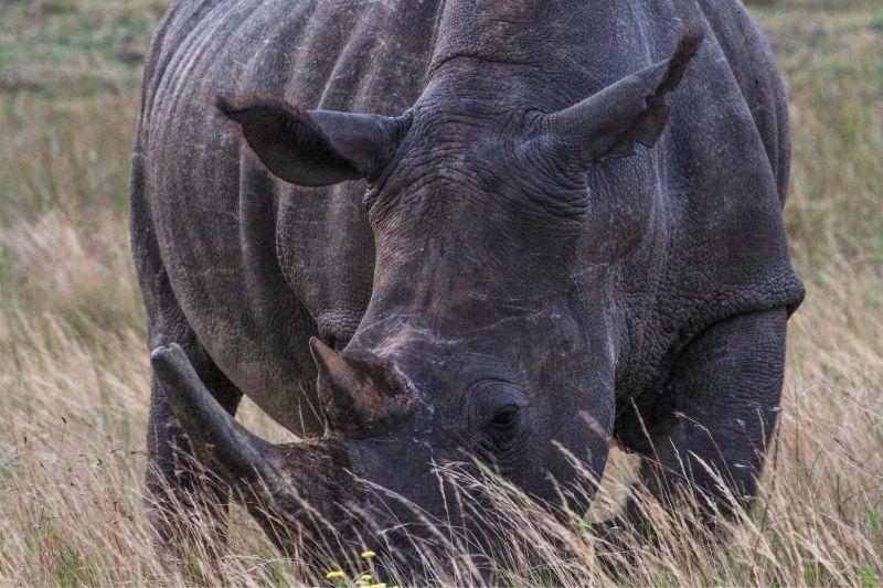 Rinoceronte en iSimangaliso