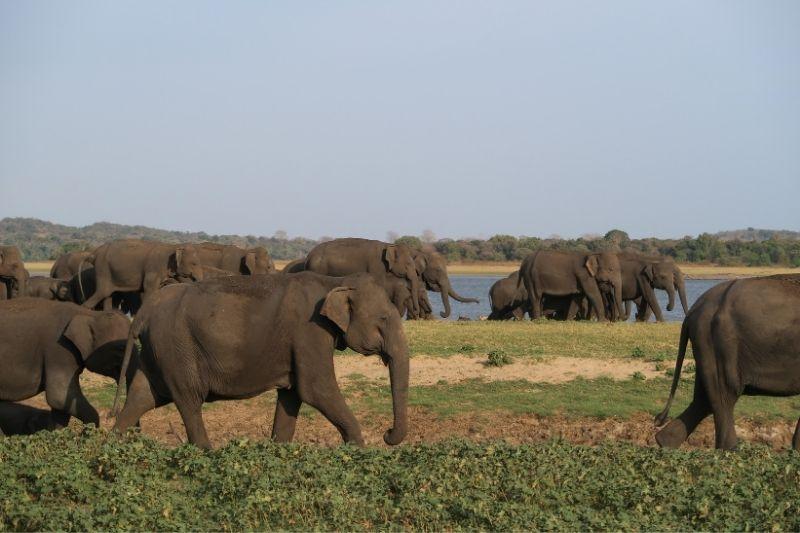 Concetración de elefantes en Minneriya