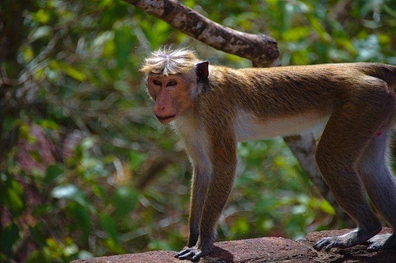 Mono en Sri Lanka