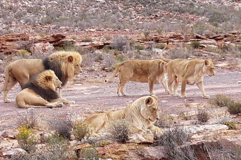 Manada de leones, uno de los animales de Sudáfrica