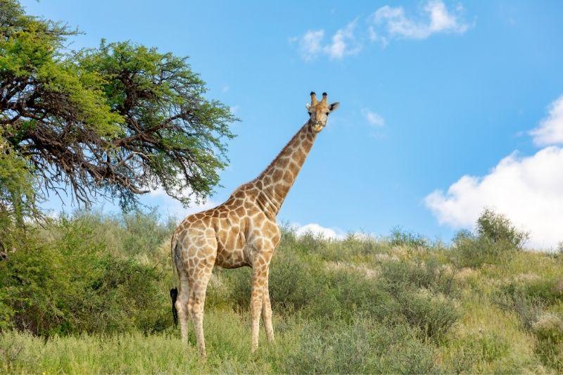 Jirafa sudáfrica