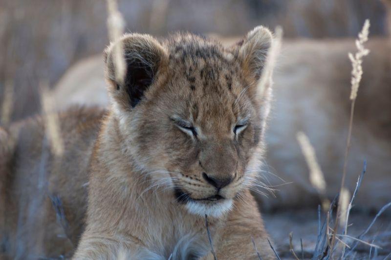 Bebé León en Sudáfrica