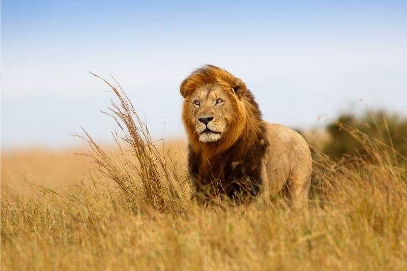 León en Tanzania