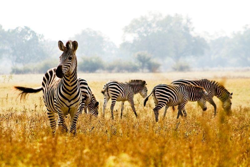 Cebras en Zambia